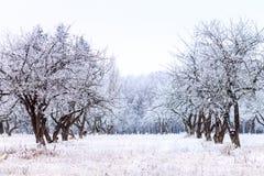 Jardín escarchado del manzano por mañana del invierno imagenes de archivo