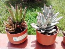 Jardín exótico del agavo del cactus de las plantas Fotografía de archivo libre de regalías