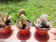 Jardín exótico del cactus de las plantas Fotos de archivo libres de regalías