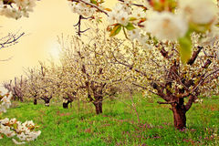 Jardín floreciente de la fruta Foto de archivo libre de regalías