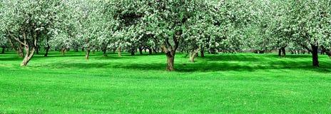Jardín floreciente de los manzanos Imagenes de archivo