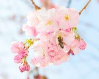 Jardín floreciente de polinización de la fruta de la huerta de la primavera de la abeja Fotografía de archivo