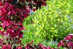 Jardín floreciente en la primavera Derechos del manzano fotografía de archivo