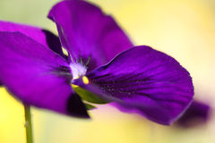 Jardín, fondo violeta púrpura Foto de archivo libre de regalías