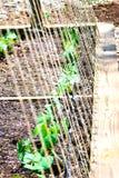 Jardín/habas orgánicos/vertical Imágenes de archivo libres de regalías