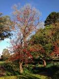 Jardín hermoso con el árbol rojo de la flor Imagen de archivo