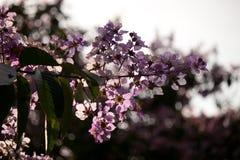 Jardín hermoso con la flor de la púrpura del Pterocarpus de la abundancia de las palmeras Fotografía de archivo libre de regalías