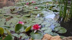 Jardín hermoso con las flores de Lotus Foto de archivo libre de regalías