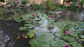 Jardín hermoso con las flores de Lotus Imágenes de archivo libres de regalías