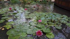 Jardín hermoso con las flores de Lotus Imagen de archivo