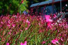 Jardín hermoso con las pequeñas flores rosadas Imagen de archivo libre de regalías