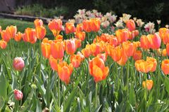 Jardín hermoso de la primavera Tulip Blooms Fotografía de archivo libre de regalías