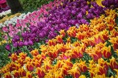 Jardín hermoso de muchos diversos tulipanes fotografía de archivo libre de regalías