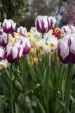 Jardín imponente de los tulipanes blancos y de color morado oscuro entremezclados con narcisista Imagenes de archivo