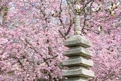 Jardín japonés con el cerezo floreciente Fotos de archivo libres de regalías