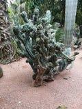 Jardín Marrokko del verde de Kaktus fotografía de archivo libre de regalías