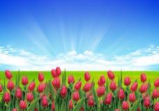 Jardín o tulipanes Imagen de archivo