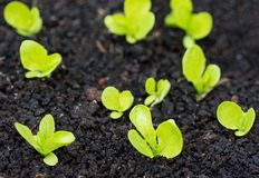 Jardín orgánico con la irrigación y pequeñas plantas de la lechuga Imagenes de archivo