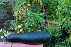 Jardín orgánico de alta densidad con un calabacín Foto de archivo libre de regalías