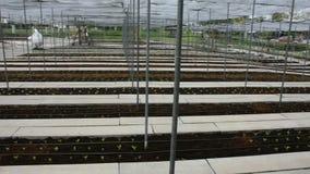 Jardín orgánico de las frutas y verduras en la plantación de Suanphueng almacen de metraje de vídeo