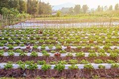 Jardín orgánico: jardín hermoso de la fresa y hoja verde del st Fotografía de archivo libre de regalías