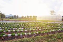 Jardín orgánico: jardín hermoso de la fresa y hoja verde del st Imágenes de archivo libres de regalías
