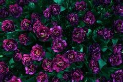 Jardín púrpura del tulipán Fotos de archivo