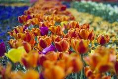 Jardín pintoresco del paisaje floral mágico con los tulipanes anaranjados adentro Foto de archivo