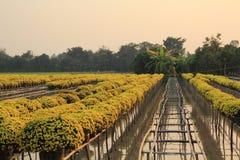 Jardín por encima de la superficie de la margarita amarilla, Vietnam Imágenes de archivo libres de regalías