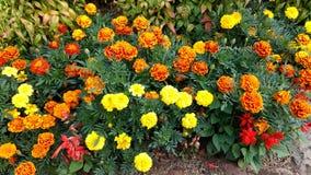 Jardín precioso y colorido de las flores de Tagetes foto de archivo
