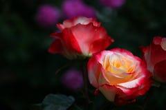 Jardín rojo amarillo de la estación de Rose Summer fotos de archivo libres de regalías
