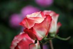 Jardín rojo amarillo de la estación de Rose Summer foto de archivo libre de regalías