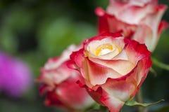 Jardín rojo amarillo de la estación de Rose Summer fotografía de archivo