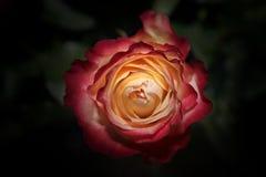 Jardín rojo amarillo de la estación de Rose Summer imágenes de archivo libres de regalías