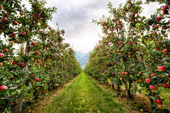 Jardín rojo de la manzana en Italia Foto de archivo