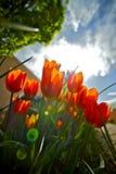 Jardín rojo de los tulipanes imagen de archivo libre de regalías