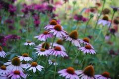 Jardín rosado de la abeja de la flor Fotos de archivo