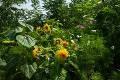 Jardín rural floreciente del otoño Girasoles amarillos Imagen de archivo