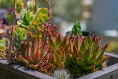Jardín sabio del desierto del agua suculenta Fotos de archivo libres de regalías