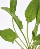 Jardín Sorrel Leaves Imagenes de archivo