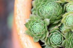 Jardín suculento verde de la planta Imagen de archivo