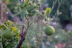 Jardín verde del árbol de limón imagen de archivo libre de regalías