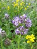 Jardín violeta de la granja del colmenar del campo de flor de Phacelia Fotografía de archivo libre de regalías