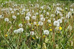 Jarda da grama completamente de flores da erva daninha do dente-de-leão e de cabeças da semente fotos de stock royalty free