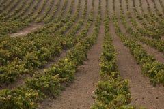 Jarda da videira do vinho fotografia de stock royalty free