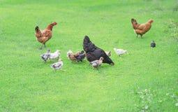 Jarda das aves domésticas Fotos de Stock Royalty Free