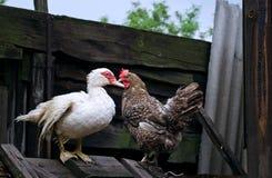 Jarda das aves domésticas Imagens de Stock Royalty Free