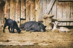 Jarda de exploração agrícola com animais Imagem de Stock Royalty Free