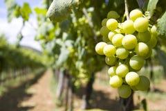 Jarda do vinho Imagens de Stock