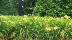 Jardim amarelo Foto de Stock Royalty Free